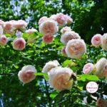 Верхняя ветка цветущего куста роз