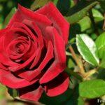 Вишнёвая роза вблизи