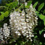 Белой акации гроздья душистые, фото