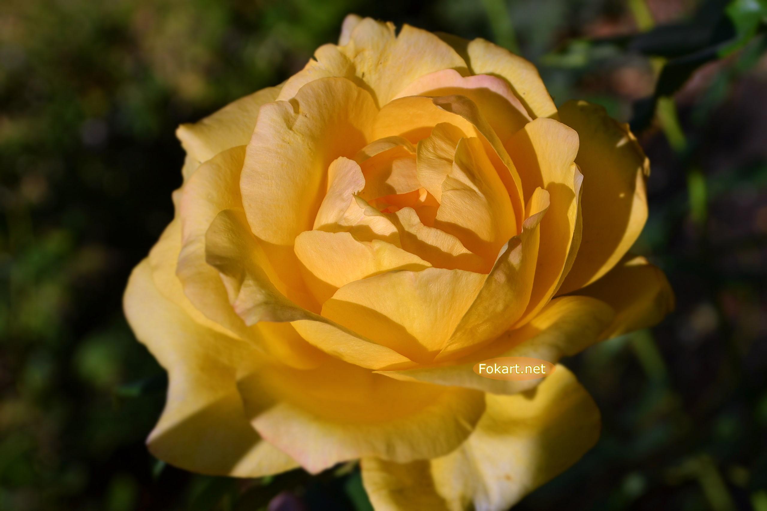 Сентябрьская жёлтая красавица - роза