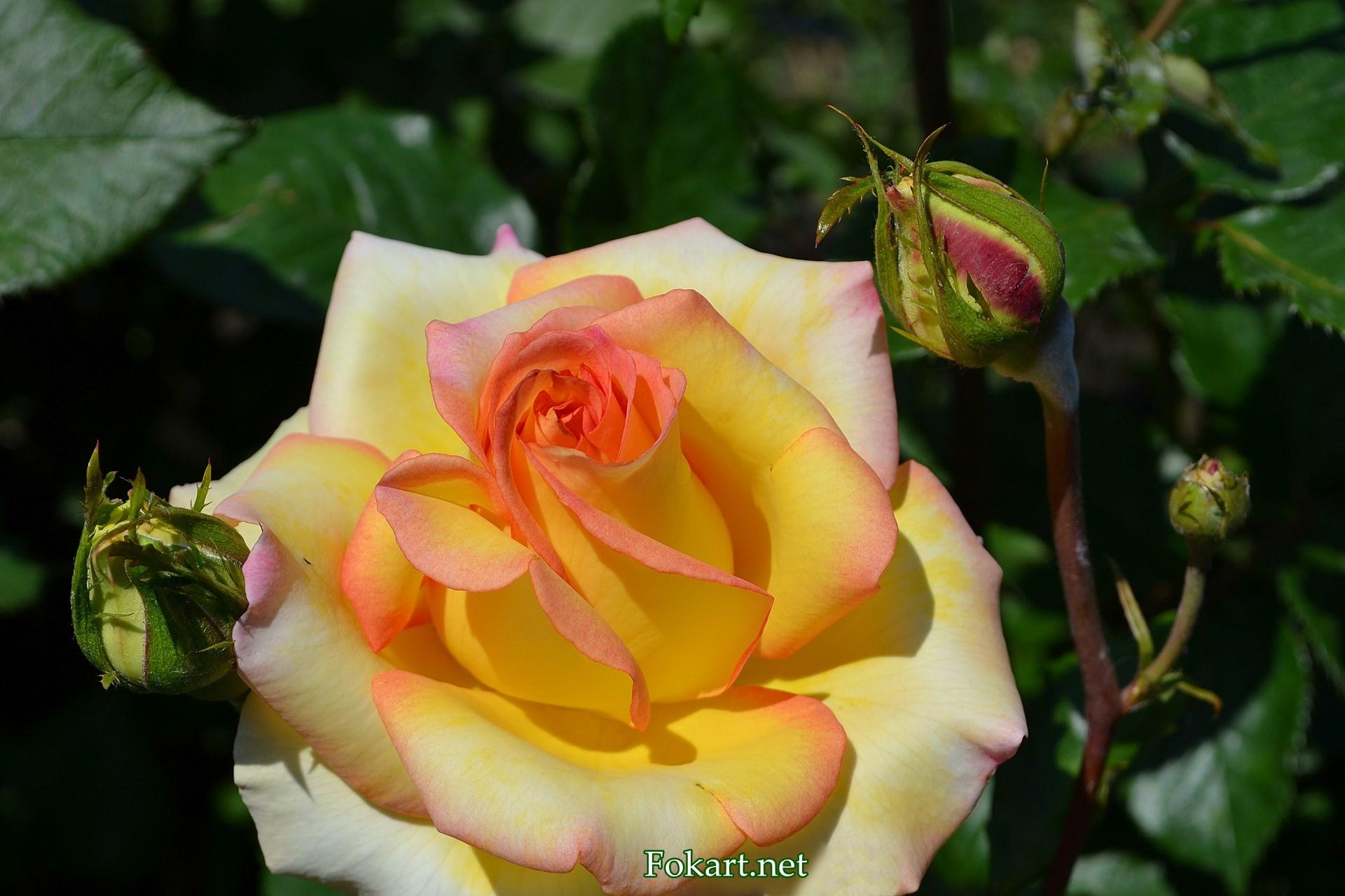 Красивая жёлтая роза с краешками лепестков лососевого цвета