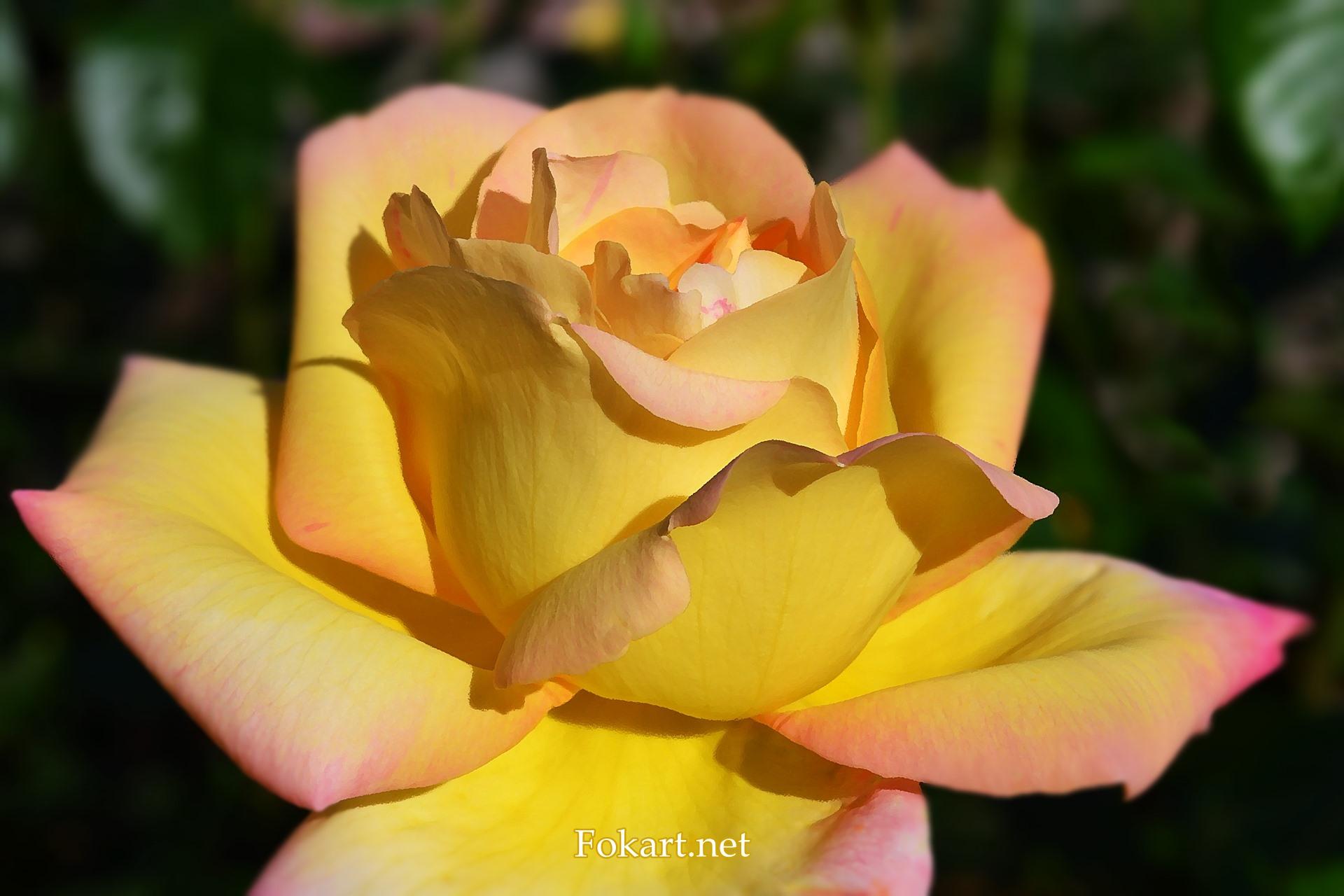Жёлтая роза с розовыми краями лепестков, фото-картина