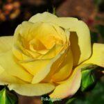 Жёлтая роза в предвечернем свете
