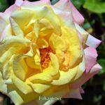 Распустившаяся жёлто-розовая роза под солнцем