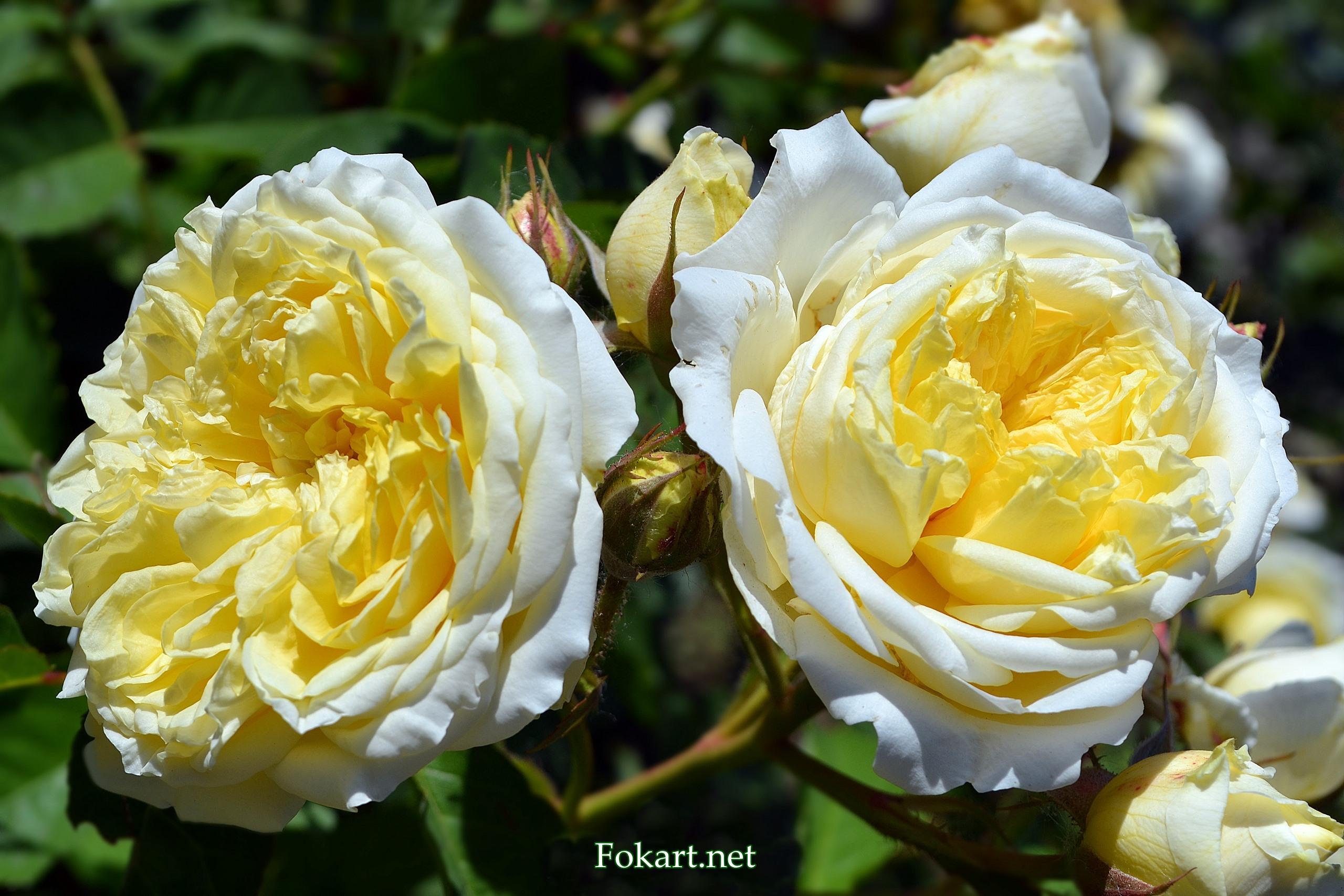 Пышные жёлтые розы