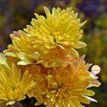 Жёлтые хризантемы с красными полосочками