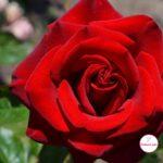 Красная роза с плотными, похожими на бархат, лепестками