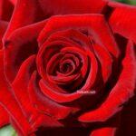 Красивая насыщенно-красная роза на весь экран