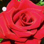 Красивая роза на весь экран