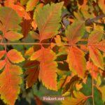 Яркие листья кёльрейтерии метельчатой в октябре