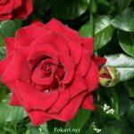 Красная роза красивой формы среди ярко-зелёных листьев