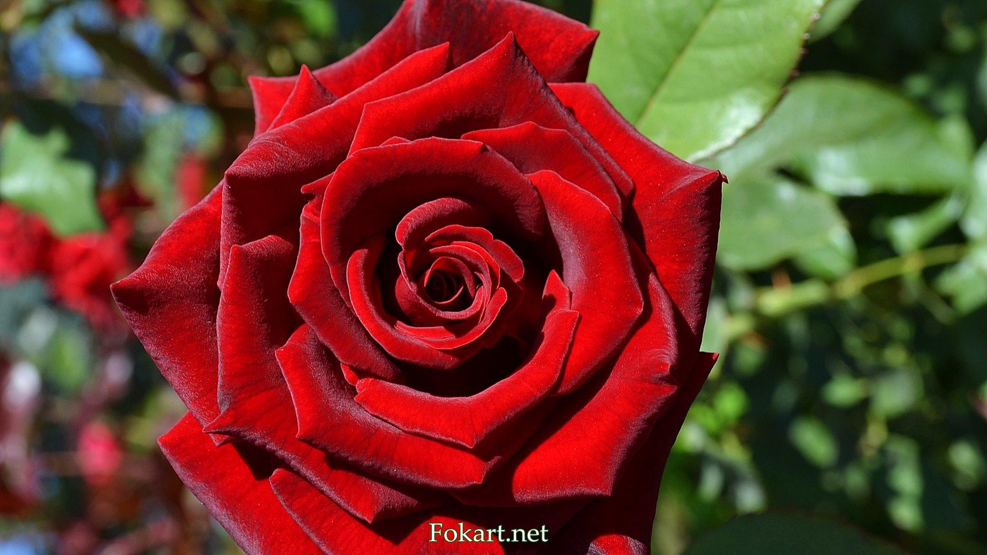 Красная роза с бархатистыми лепестками