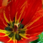 Широко раскрытый красный тюльпан
