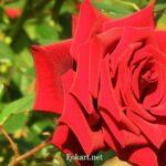Красивая красная роза в солнечный день