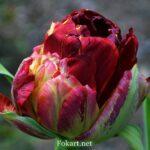 Махровый, разноцветный тюльпан