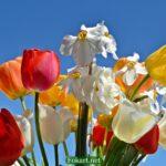 Нарциссы и тюльпаны на фоне голубого неба