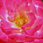 Нарядная роза - малиновая с белым, с жёлтой серединкой