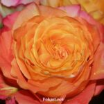 Необычная оранжевая роза