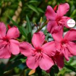 Тёмно-розовые цветки олеандра Maurin des Maures