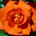 Ярко-оранжевая роза с капельками воды