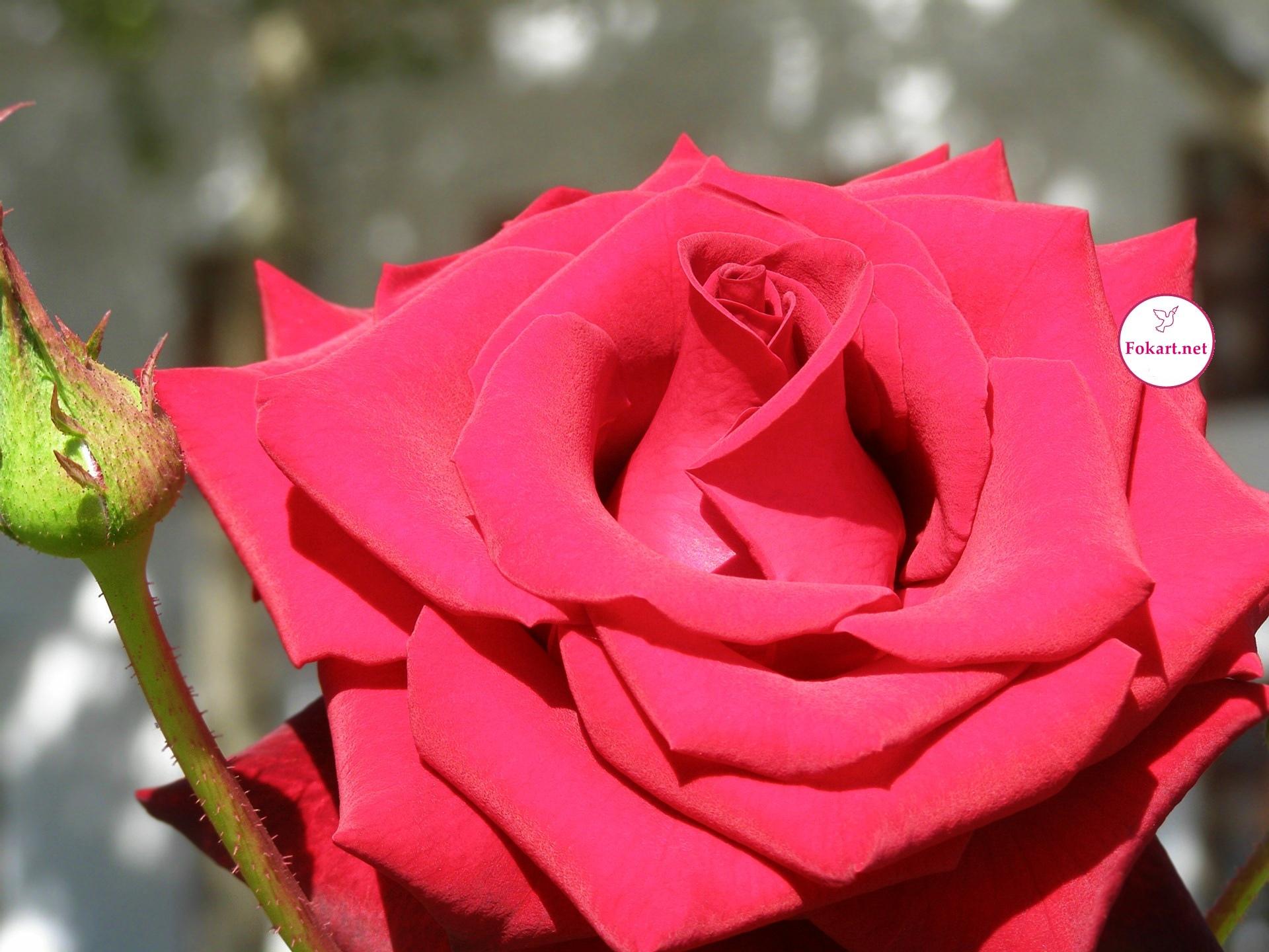 Очень красивая красная роза с бутоном