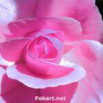 Розовая роза в предвечерних лучах солнца