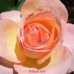Персиковая роза с росинками в солнечном свете