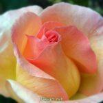 Роза цвета персика