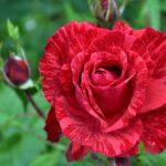 Красная с алым роза с полосочками