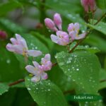 Розовые мокрые цветочки и листики жимолости в дождинках