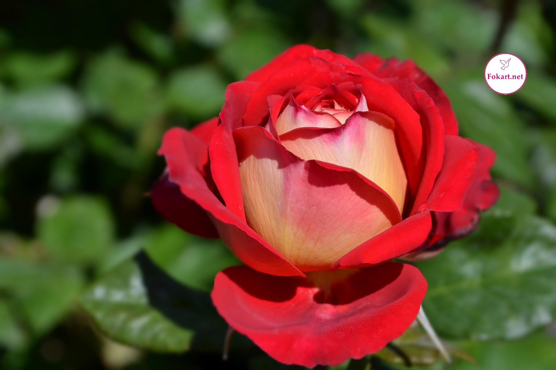 Чайно-гибридная роза «Osiria»