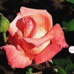Коралловая красавица-роза в росе крупным планом, фото-картина