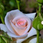 Светлая роза и ярко-зелёные бутоны