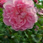 Розовая роза, похожая на пион