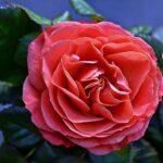 Небольшой цветок комнатной розы лососевого цвета