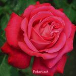 Розовато-красная роза на зелёном фоне