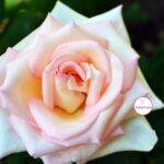 Нежная бело-розовая роза