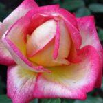 Двухцветная роза крупным планом