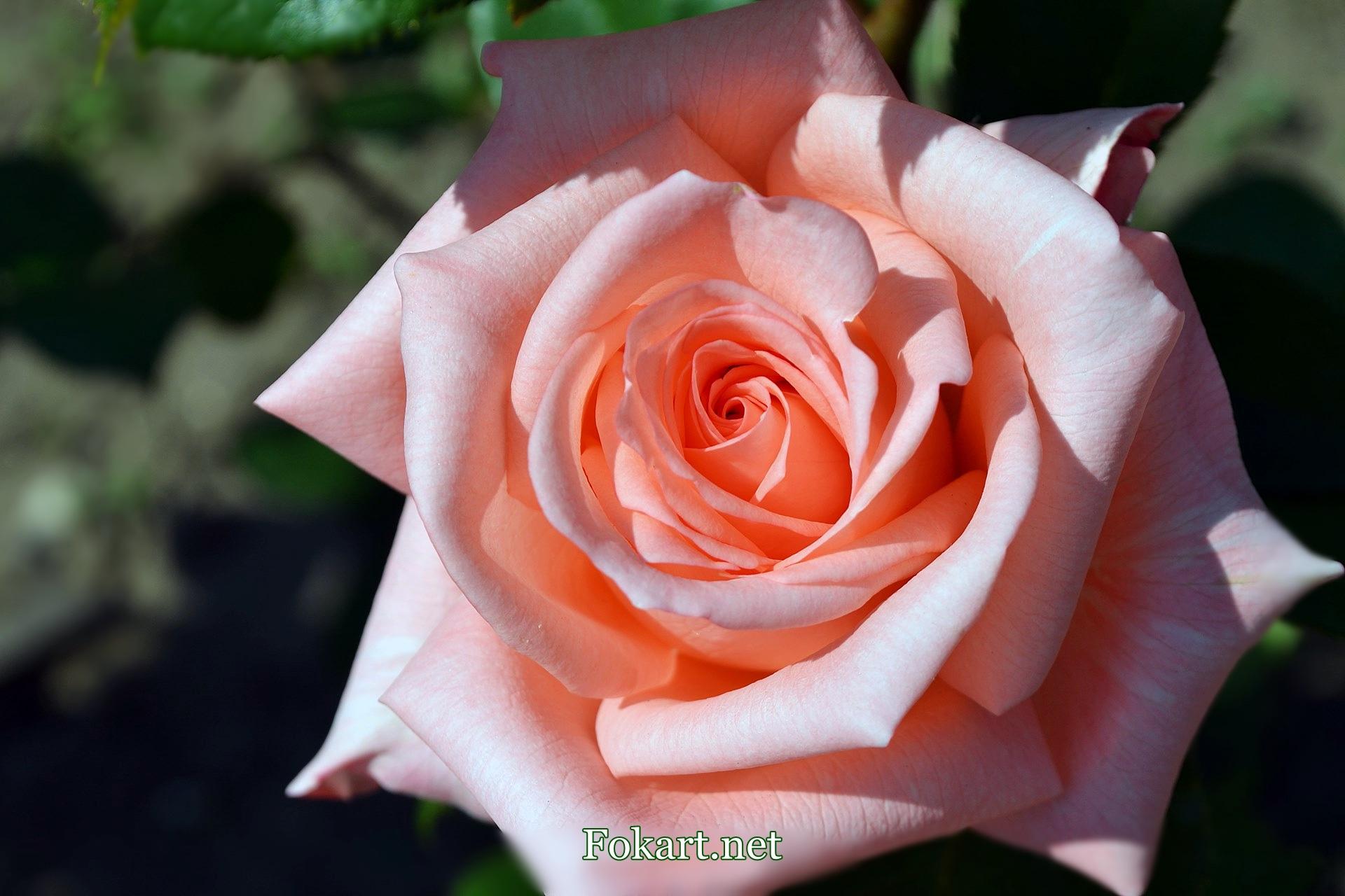 Красивая роза на весь экран нежного оттенка розового цвета