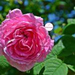 Мелкая розовая розочка на ветке в мае