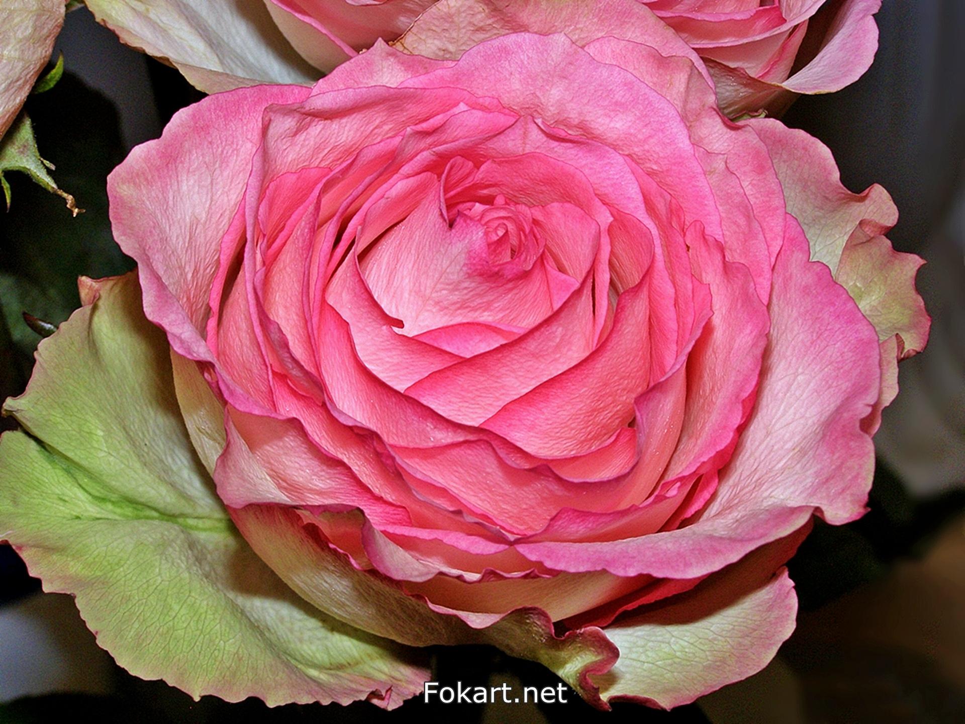 Розовая роза с зеленоватыми крайними лепестками