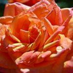 Жёлтая роза с розовыми краями лепестков