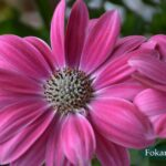 Розовый цветок остеоспермума