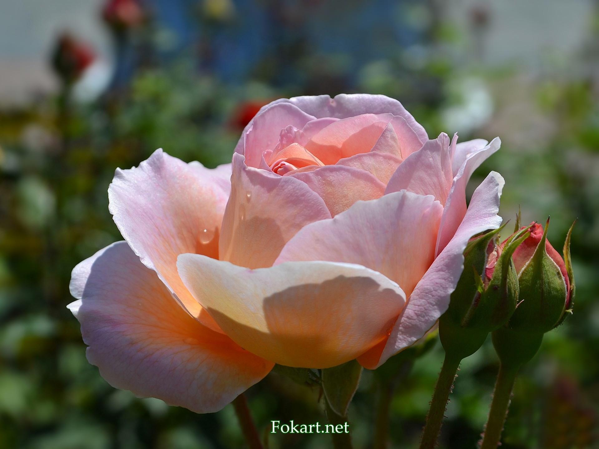 Свежая светло-розовая роза с капельками