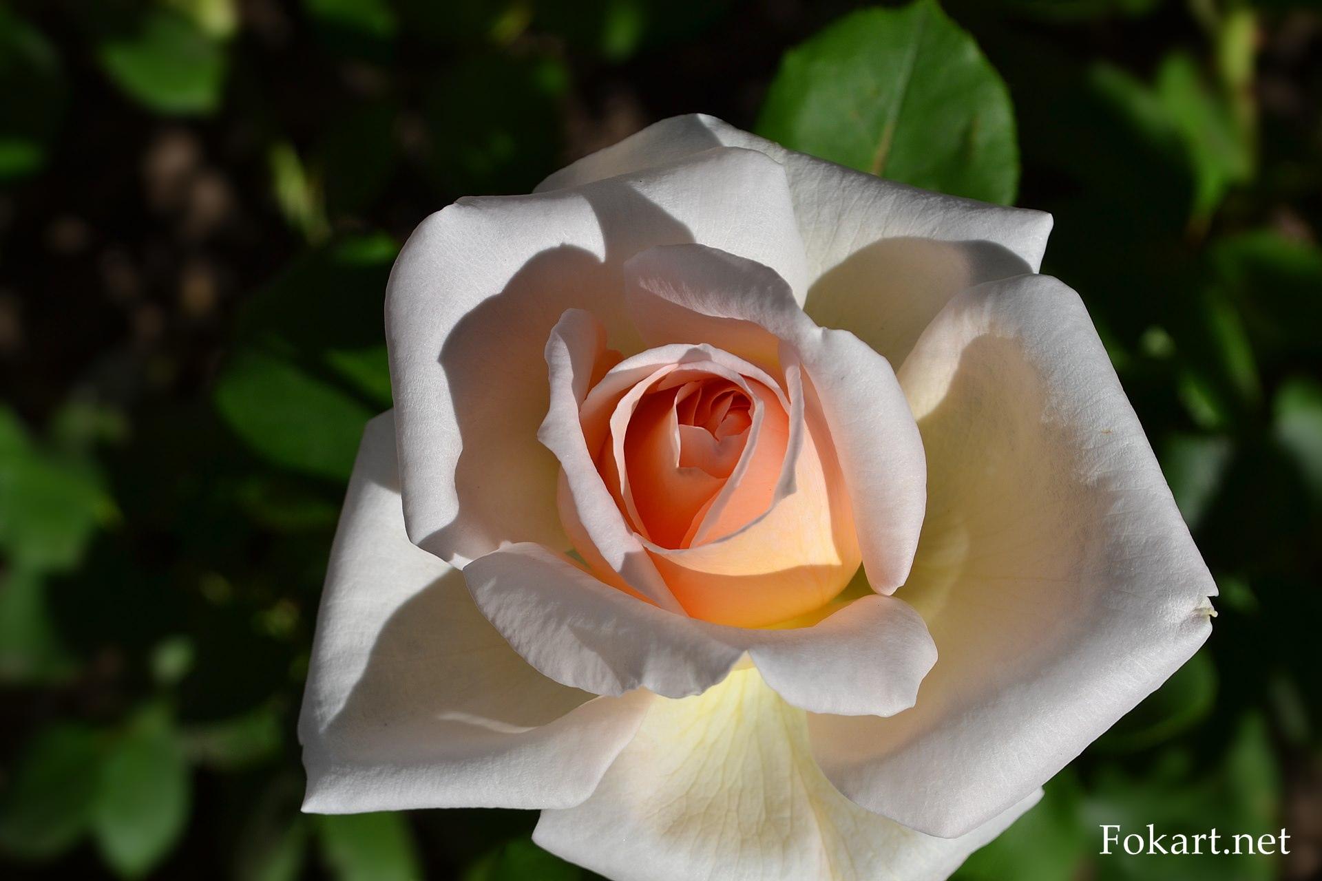 Светлая роза с кремовыми лепестками, в серединке — абрикосовая