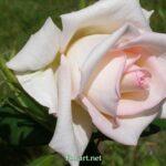 Светлая роза на весь экран