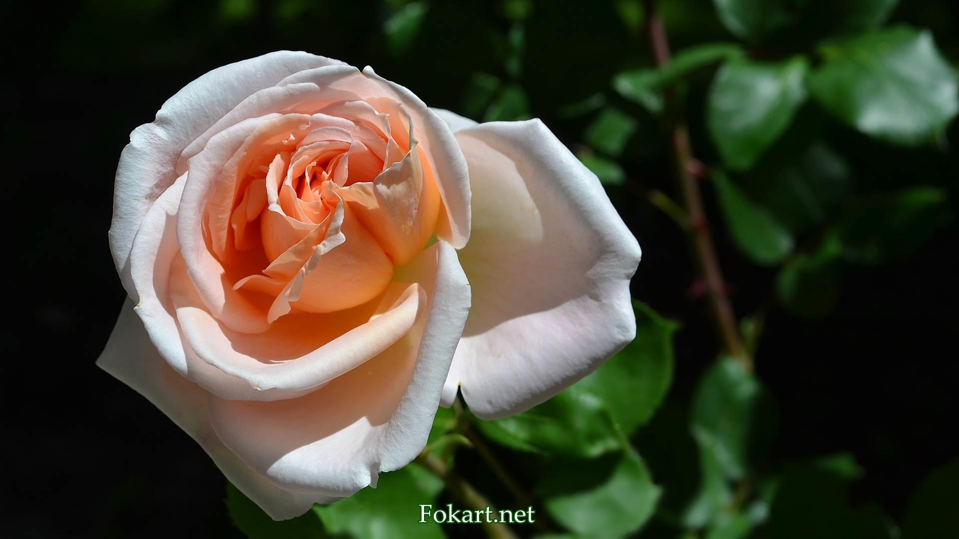 Светлая роза в утреннем солнечном свете