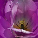 Светло-сиреневый тюльпан вблизи, фото-картина