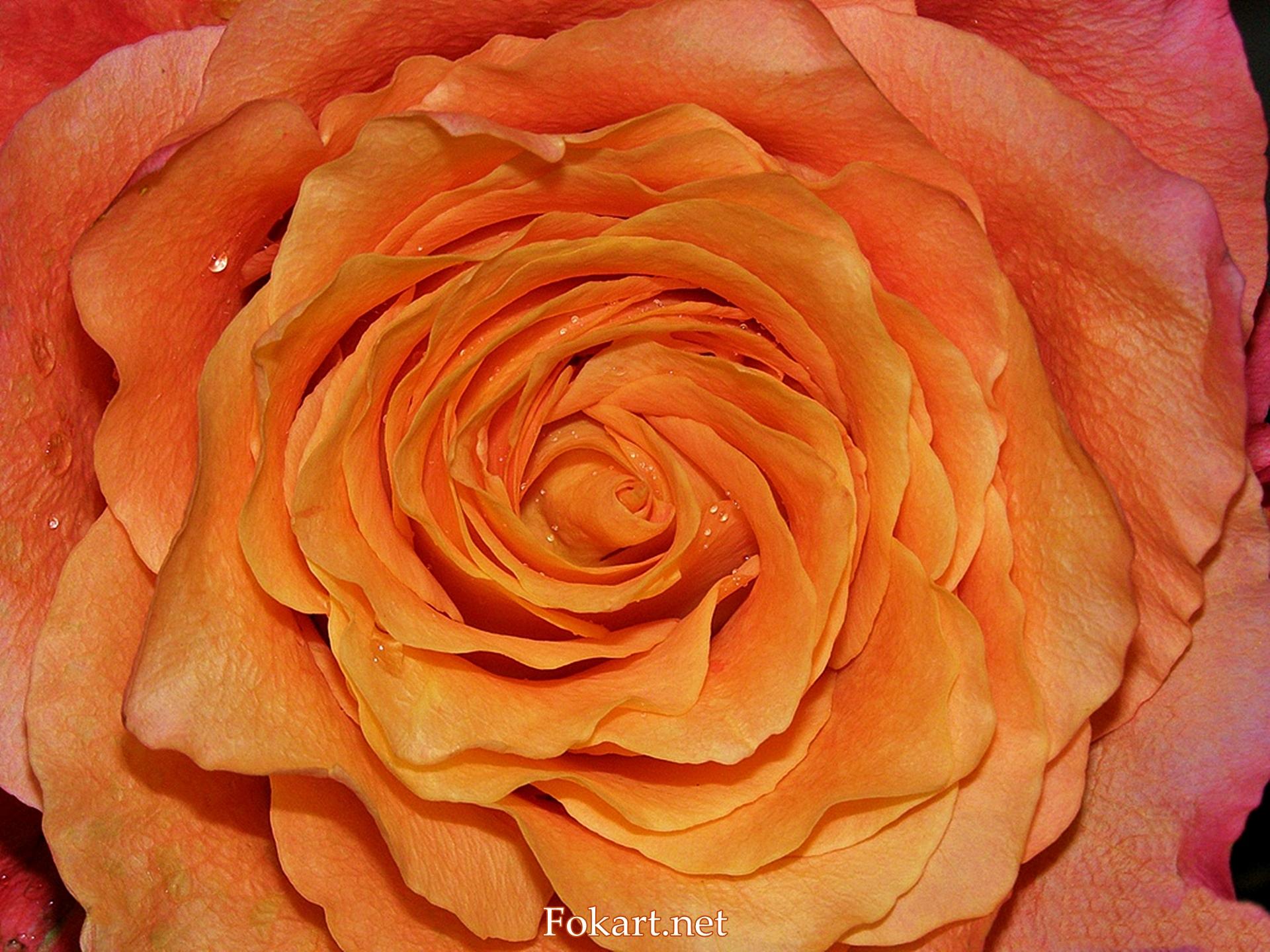 Серединка оранжевой розы сорта Free spirit