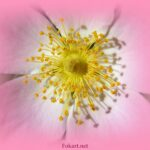 Серединка цветка шиповника